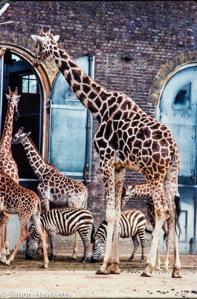 35mm colour slide pictures from London Zoo in the early 1980s - Giraffe