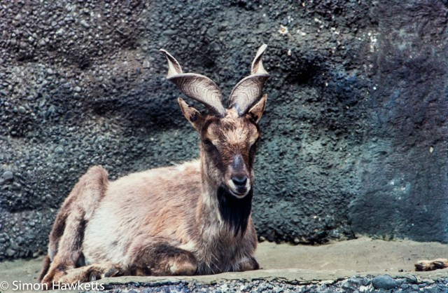 35mm colour slide pictures from London Zoo in the early 1980s - Goat with twisted horns