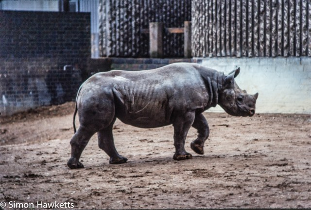 35mm colour slide pictures from London Zoo in the early 1980s - Rhino