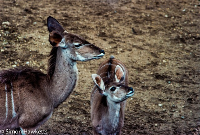 35mm colour slide pictures from London Zoo in the early 1980s - Some sort of Deer