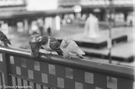 Caffenol sample picture - Pidgeons in Stevenage