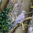Optomax 300mm f/5.6 sample pictures - Another pigeon