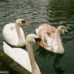 Pentax MZ-50 sample pictures - Swans