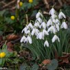 Pictures of Bennington Lordship - Snowdrops