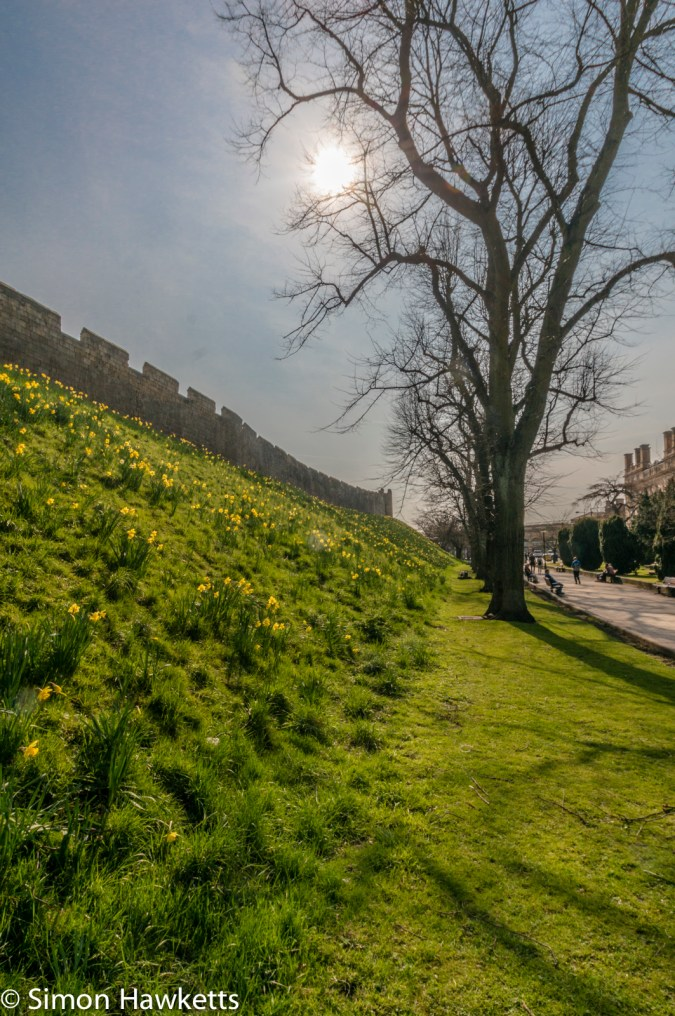 Spring flowers growing next to the City wall in York