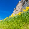 Daffodils growing by the city wall in York