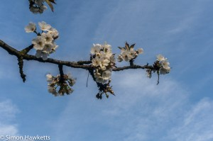 Optomax 35mm f/3.5 sample pictures - Spring blossom