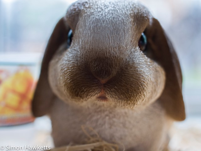 Ricoh GXR sample image - Close up of Rabbit