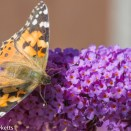 Tamron 90mm f/2.8 macro pictures - Red Admiral Butterfly