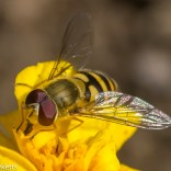 Macro photos - A small hoverfly