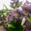 Pentax SFXn sample pictures - Clematis