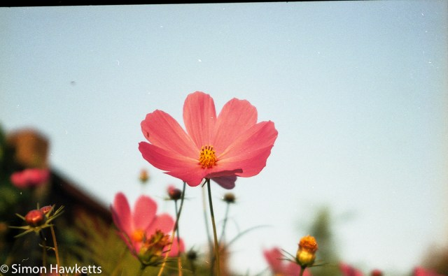 Epson V550 scanned negative - Cosmos flower