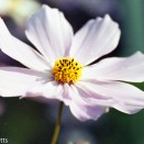 Pentax Z-1p sample picture - cosmos flower