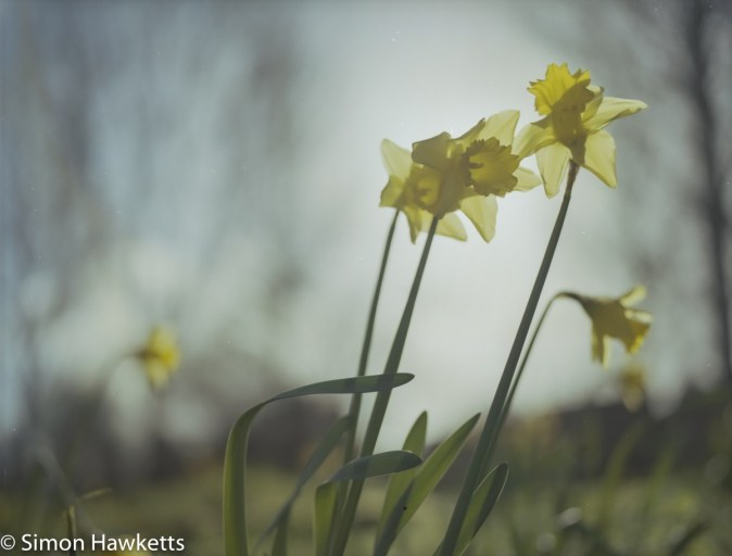 Bronica ETRsi sample photos - Daffodil with the sun behind it