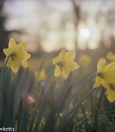 Bronica ETRsi sample photos - Soft daffodils