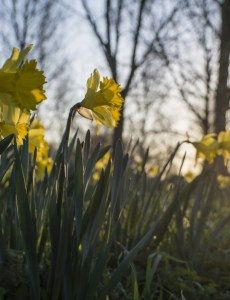 Chinon 28mm f/2.8 M42 lens samples - Daffodils with backlit sunshine