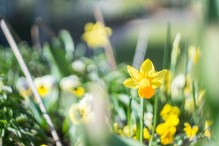 Helios 44M sample pictures - Daffodil