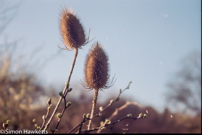 Pentax Z-20 sample pictures - large seedheads