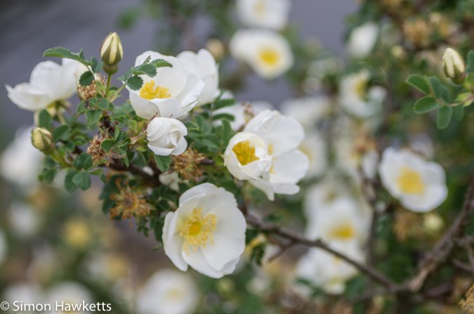 Tokina RMC 75 - 260 f/4.5 zoom sample pictures - white and yellow flowers