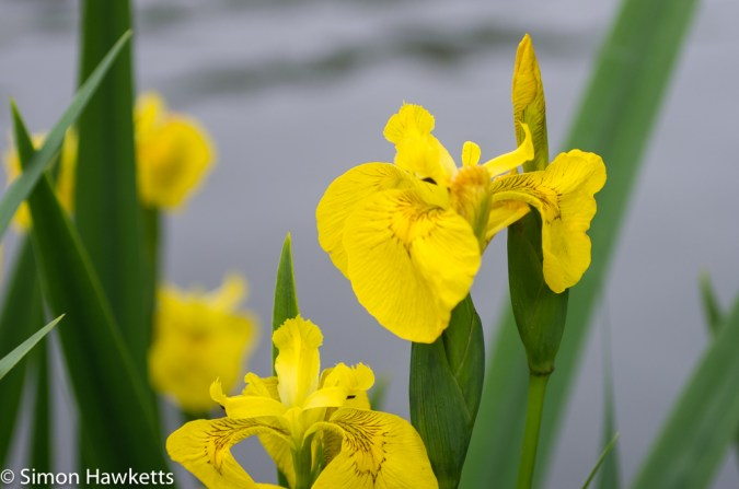 Tokina RMC 75 - 260 f/4.5 zoom sample pictures - yellow flowers by the pond