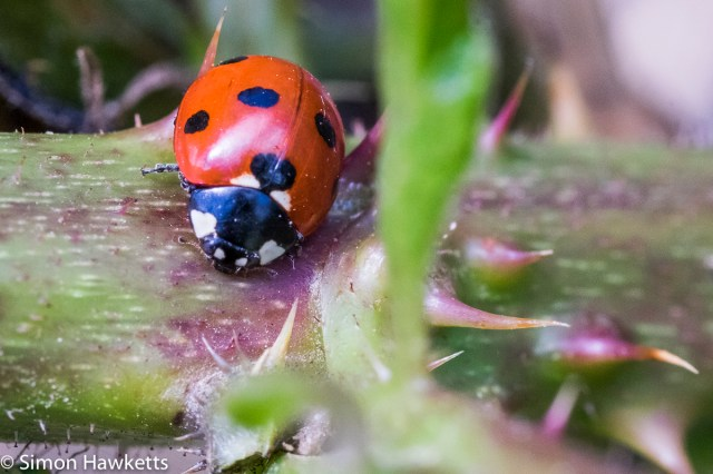 Fuji X-T1 macro sample pictures - Ladybird and thorns