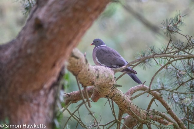 Auto Chinon 200mm Telephoto f/3.5 on fuji x-t1 - Pigeon sitting in a tree number 2