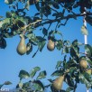 Precisa ct-100 colour slide film pictures - Pears on the tree