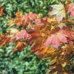 Agfa precisa CT100 and Minolta Dynax 5 - red leaves
