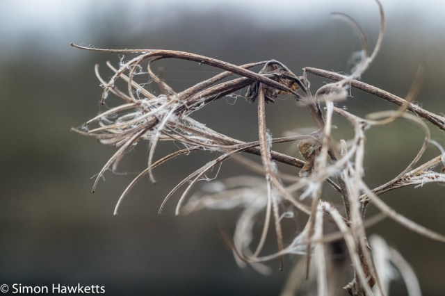 Vivitar 75 - 205mm  f/3.8 zoom  telephoto on Fuji X-T1 sample pictures - close up of dead grass