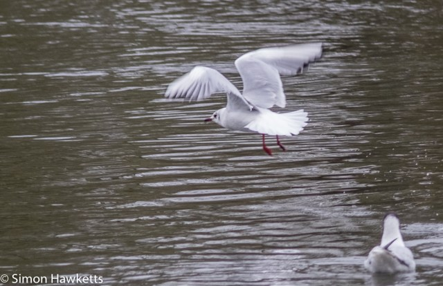 Vivitar 75 - 205mm  f/3.8 zoom  telephoto on Fuji X-T1 sample pictures - cropped seagull