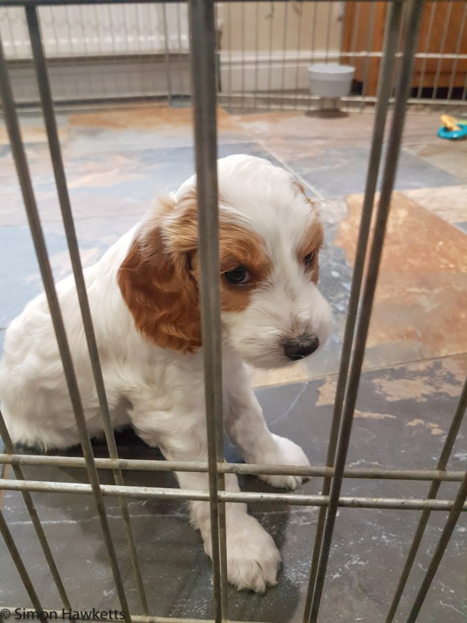 Freddy the Cockapoo Puppy in a cage