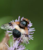 Large Black and White hover fly 1
