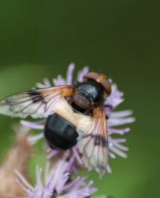 Large Black and White hover fly 8