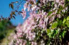 Carl Zeiss Jena Pancolar 50mm f/2 on Fuji X-T1 - Spring flowers