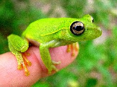Perereca Verde