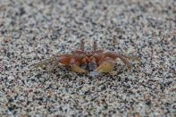 Ghost crab will leave you and hide