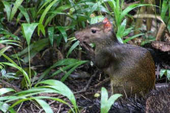 Agouti comes by