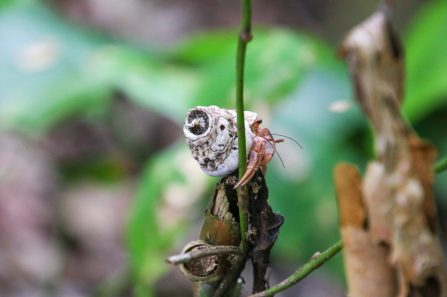 Did you know hermit crabs are explorers? They climb trees and everything.