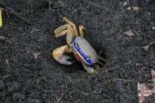 Blue crab from font