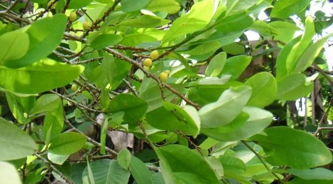 is coca leaf tea legal in the us | Jidileaf co