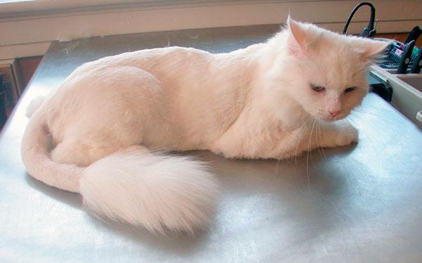 Правильно подстригаем кота в домашних условиях если он не датся используем машинку