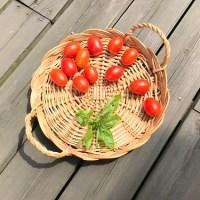 アイコトマト収穫