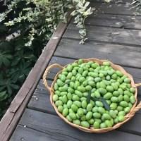 小さい庭でオリーブ2キロ収穫、渋抜きは塩のみ。