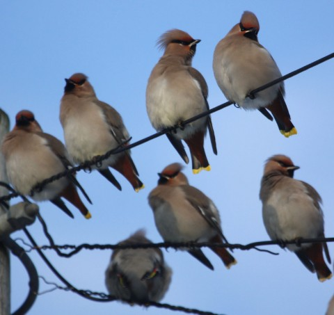 waxwings massing