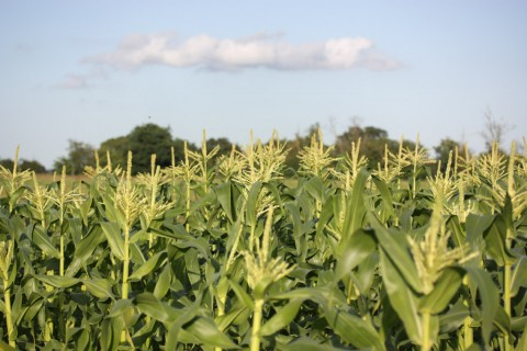 Sweetcorn growing in a field (you can't see the corn cobs because it's the devil's own job to see them as they are covereed by leaves lower down the plants)