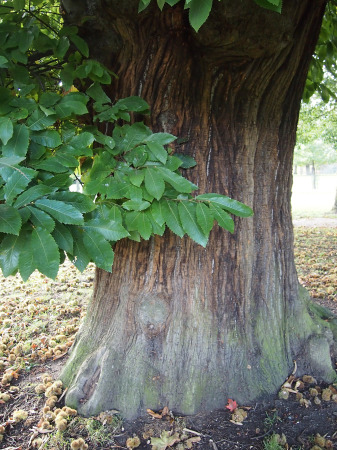 one of the chestnut trees
