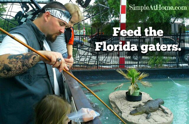 Alligator Feeding: Florida Field Trip