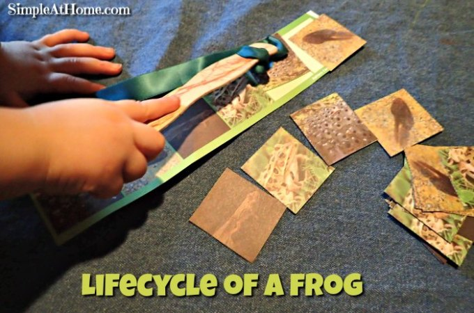 Tadpoles and Frog Lifecycles