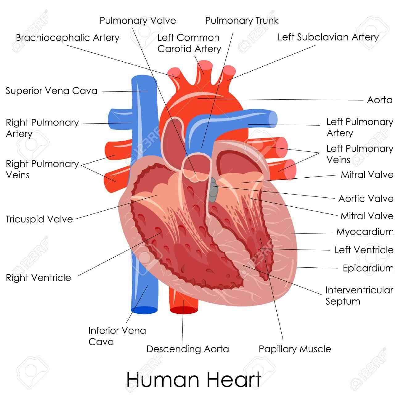 Cardiovascular System Simplebooklet