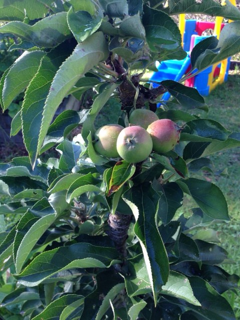 Ballerina apples